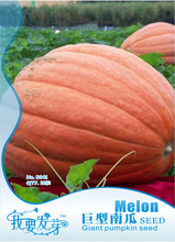 1 Original Pack, 6 seeds / pack, Atlantic Giant Pumpkin Seeds #NF179(China (Mainland))