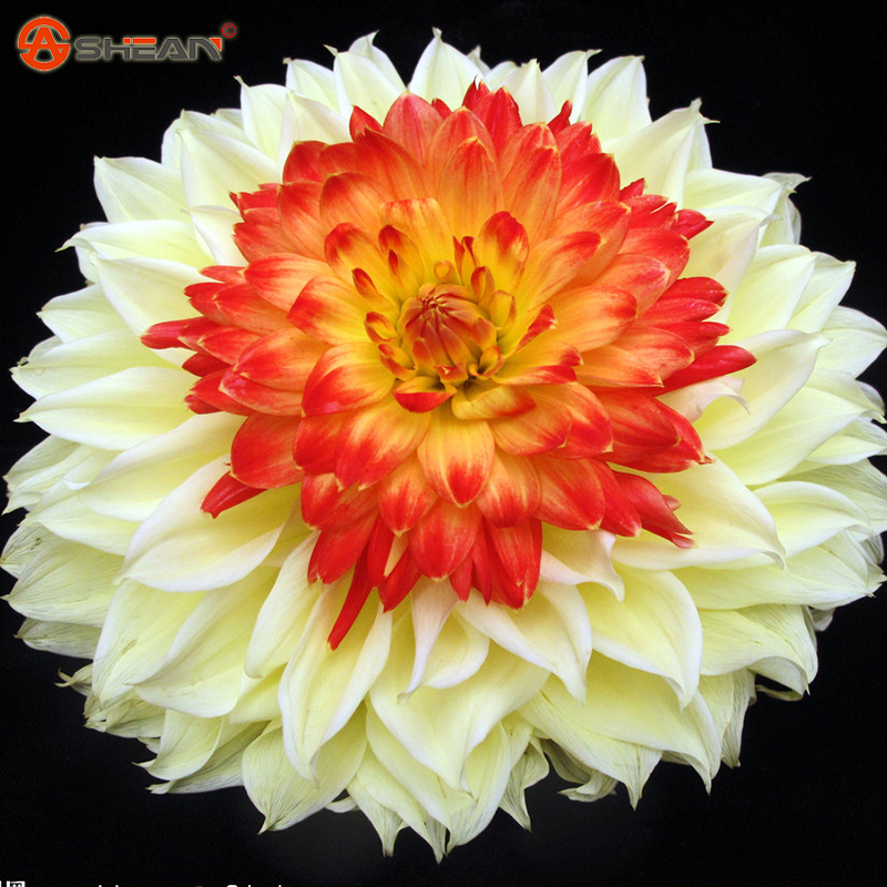 Гаджет  Rare Yellow Orange Dahlia Seeds Charming Chinese Flower Seeds Bonsai Plants for Garden 100 Particles / lot None Дом и Сад