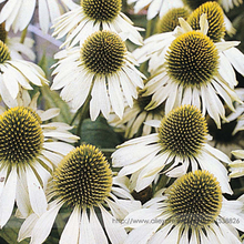 Buy Echinacea Purpurea 'White Swan' Coneflower Seeds, Professional Pack, 50 Seeds / Pack, Hardy Perennial Heirloom Flowers for $1.48 in AliExpress store