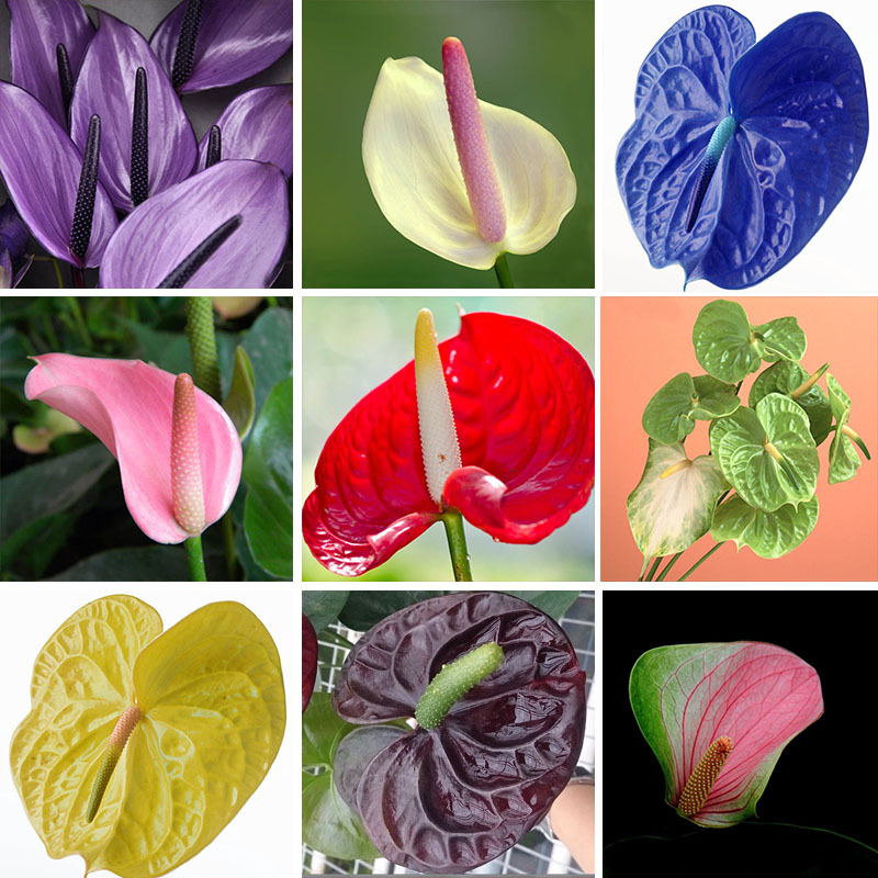 100/bag Rare Flower Seeds Anthurium Andraeanu Seeds Balcony Potted Plant Anthurium Flower Seeds for DIY Home Garden(China (Mainland))