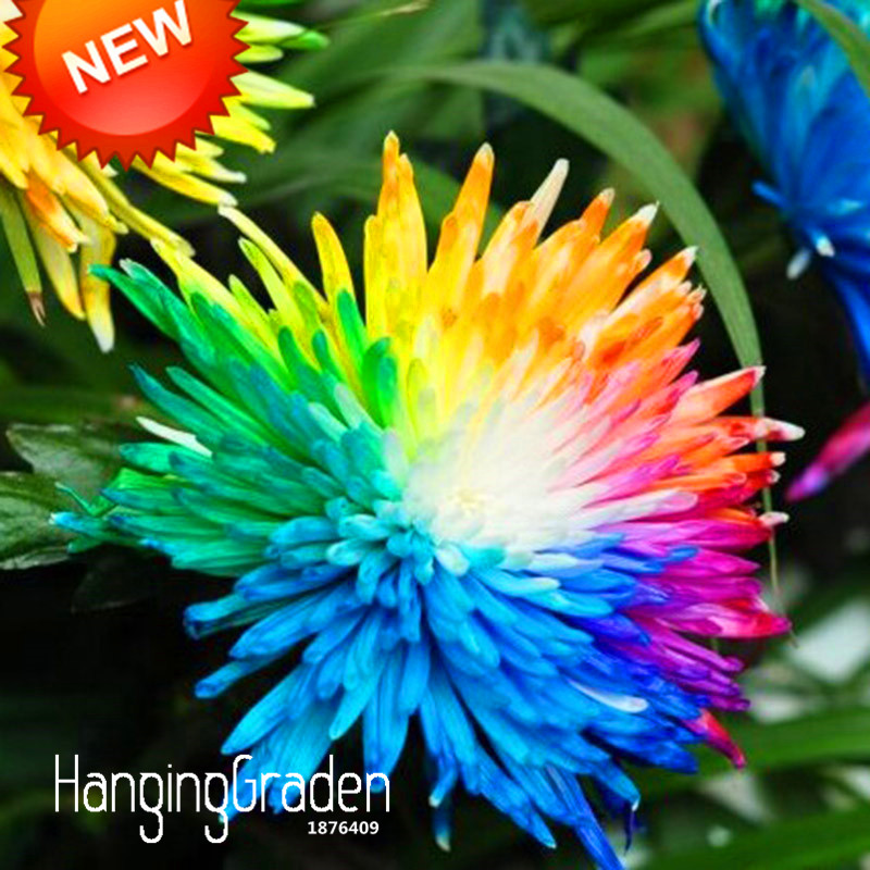 Гаджет  Big Sale!Rainbow Chrysanthemum Flower Seeds Rare Color DIY Home Garden Flower Plant  50 Pieces / pack,#O98RYA None Дом и Сад