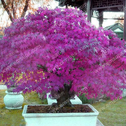 30 PCS Purple Maple Seeds Rare in The World Canada is a Beautiful Purple Maple Bonsai