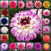 plant garden dahlias seeds For DIY Home Garden - Dahlias 10pcs/lot(China (Mainland))