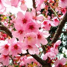 10pcs Seeds for pink colour cherry blossom Japanese Sakura Cloud Oriental Sweet Prunus Serrulata Seeds(China (Mainland))