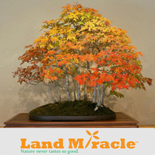 1 Pack, 20 seeds/pack, Rare Red Japanese Maple,*RED SUNSET* Landscaping Tree Seeds Bonsai #M393(China (Mainland))