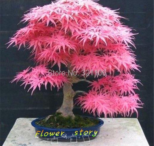 Гаджет  20 Mini Beautiful Japanese Red Maple Bonsai Seeds, DIY Bonsai * JAPAN MAPLE NEW SEEDS * Free shipping None Дом и Сад
