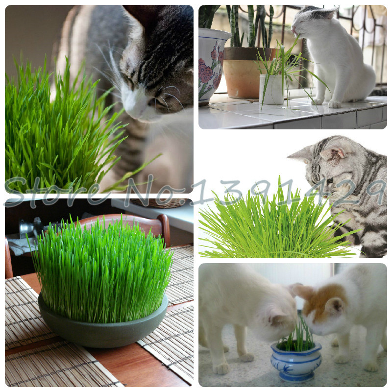 Foliage plant seeds wheat grass, cat grass seeds, wheat seeds, bonsai plant for garden, about 200 particles(China (Mainland))