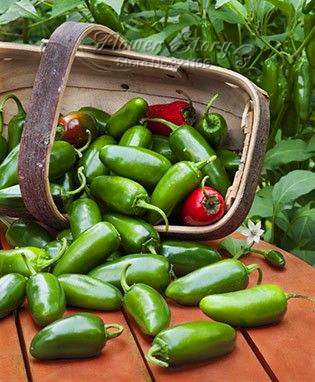 Free Shipping 100 Jalapeno Chile Pepper seeds Fast Growing DIY Home Garden Vegetable Plant most popular