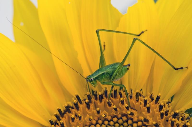 Canvas Prints Stretched Framed Fine Art Giclee Artwork For Wall Decor Pollination Nature Close-up Grasshopper Bug Floral(China (Mainland))