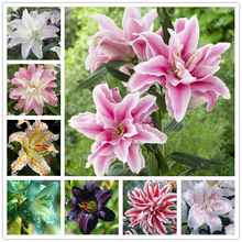 2 bulbs true lily bulbs,lily flower,(not lily seeds),flower indoor plant Radiation Absorption,Natural growth for home garden(China (Mainland))