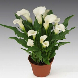 Calla lily seed imported from Holland calla lily seedlings 50 seeds bag