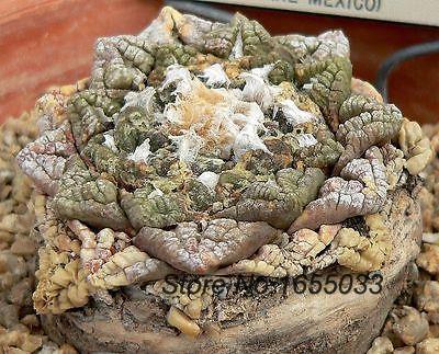 Live Rock Plants Fissuratus Living Rock