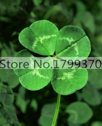 100/bag Day Four Leaf Clover, Grow Your Own for Luck grass seeds for flower pot planters(China (Mainland))