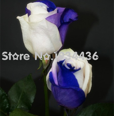 Rare Amazingly blue + white roses flowers Potted Plant Seed balcony 20+PCS free shipping(China (Mainland))