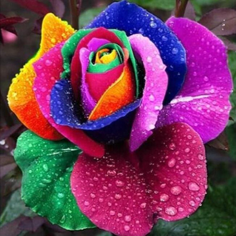 20seeds/pack Bonsai Holland Rainbow Rose Seeds Professional Seedling floer Plant/ Many varieties of rose garden flower seed(China (Mainland))
