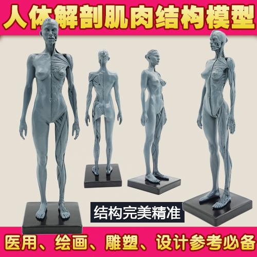 Anatomy models online