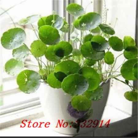 online kaufen gro handel peperomia anlage aus china peperomia anlage gro h ndler. Black Bedroom Furniture Sets. Home Design Ideas