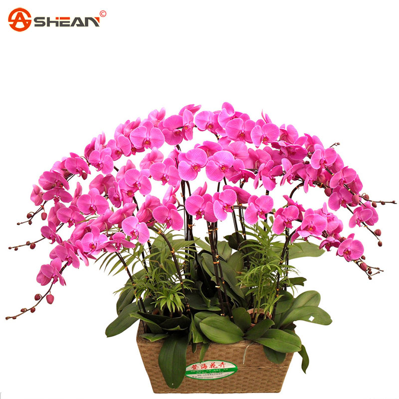 Rose Red Phalaenopsis Orchids Beautiful Garden Bonsai Balcony Flower Butterfly Orchid Seeds Home Plant Seeds 200 Pieces / Lot(China (Mainland))