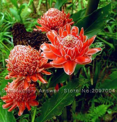 50pcs Torch ginger Etlingera Elatior Flowers Seeds Rare Rose Flower Exotic Plants Garden Planting Red Flowers Free shipping(China (Mainland))