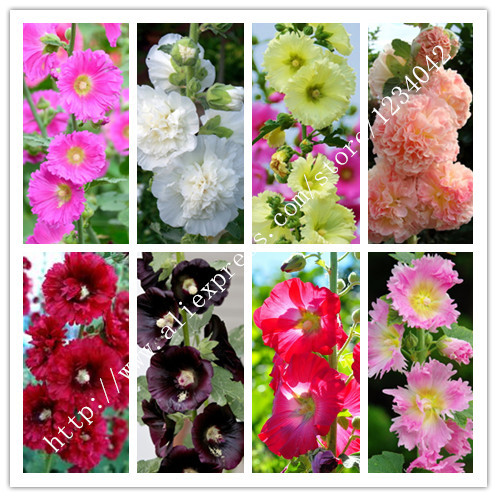 40PC China colorful hollyhock seeds.8 kinds Mixed flower seeds. Garden Plants(China (Mainland))