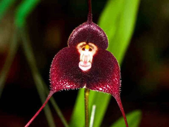 8 kinds Cute Monkey Face Orchid Seeds Monkey Orchid Bonsai plants Flowers Seeds for home garden