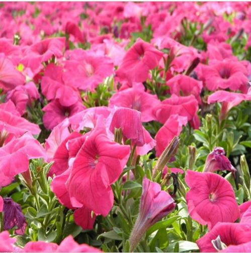 2015 New Trendy Stylish Low Petunia Seeds mixing Low Petunia flower Organic Garden Plant Garden Supplies Bonsai(China (Mainland))