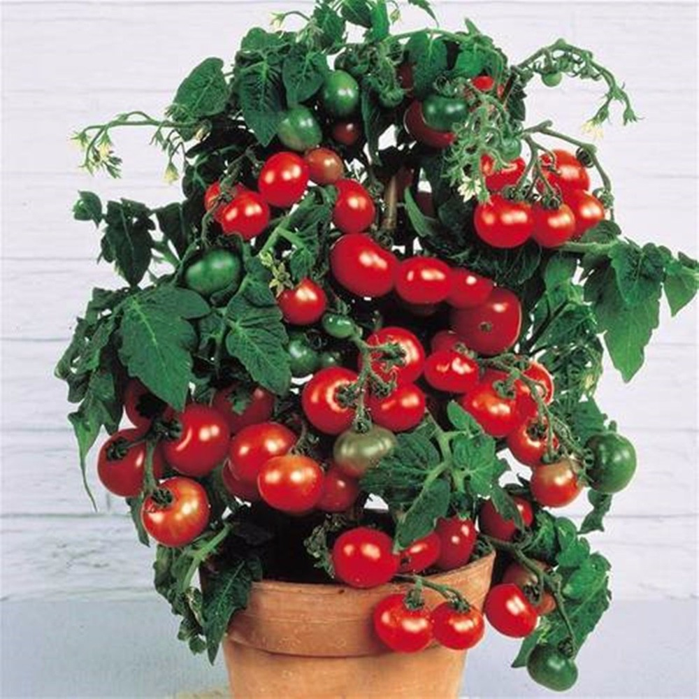 2016 Rushed New Outdoor Plants Promotion Garden tomato seed Potted Bonsai Balcony fruit Vegetables seed 100pcs(China (Mainland))