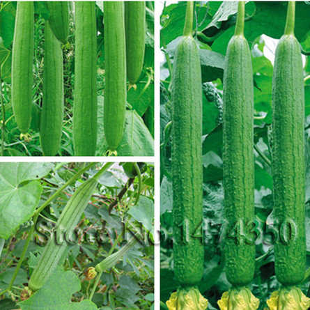 Towel gourd seed 10 seed luffa cylindrica sponge gourd luffa vegetable - Compare Prices On Luffa Cylindrica Seeds Online Shopping