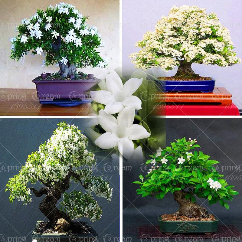 Acquista all 39 ingrosso online fiori di gelsomino per la for Vendita semi fiori