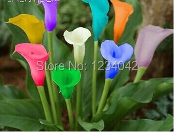 Free shipping, 200 PC of the rare natural colorful calla lily orchid seeds, balcony bonsai flowers(China (Mainland))