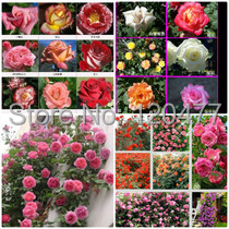 Climbing roses seeds rose flower climbing roses monoflord the letoff blended-color four seasons - 100 pcs seeds(China (Mainland))