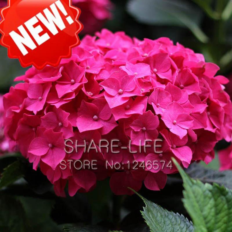Compra hortensia rojo online al por mayor de china - Semillas de hortensias ...