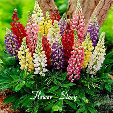 Гаджет   25 Colorful Rainbow Tutti Frutti Lupine Flower Seeds Ornamental flowers  free shipping None Дом и Сад