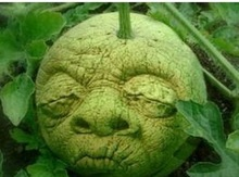 Free shipping Mini watermelon Seed like a man rare(don't promise it 90% grow up for very rare )