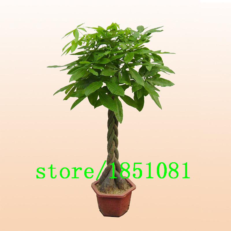 pachira bonsai acquista a poco prezzo pachira bonsai lotti