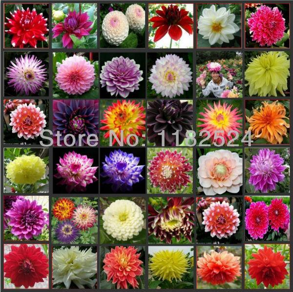 Dahlia seeds, sweet potatoes Dahlia flower seeds, seed mixing - 100 seeds(China (Mainland))