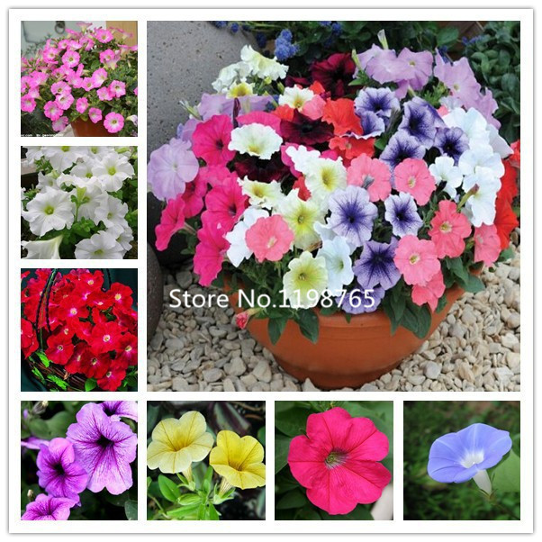 2016 New Arrival (Mix)petunia ,Hanging petunia seeds, Original Package free shipping - 500 Seed particles(China (Mainland))