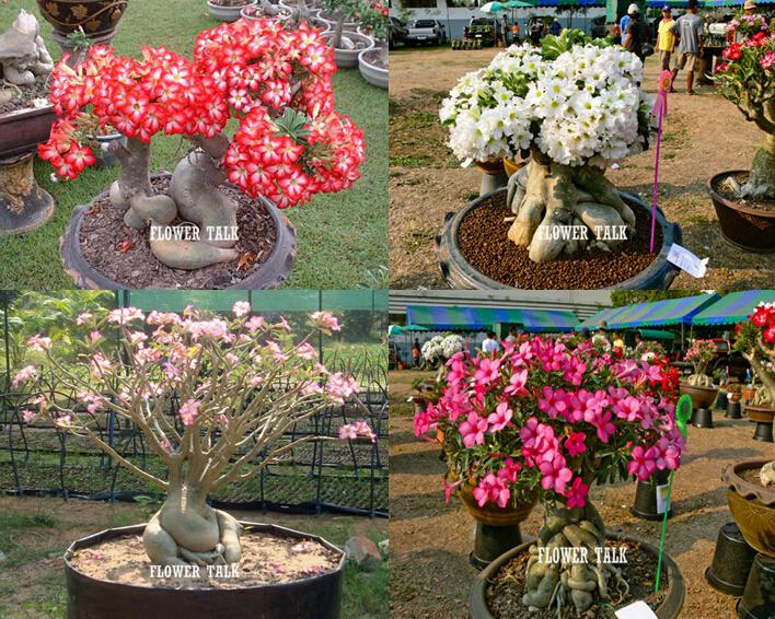Buy mix 4 colors 8pcs desert rose seeds for Casa rural jardin del desierto