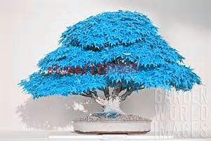 20pcs/bag bonsai blue maple tree seeds Bonsai tree seeds. rare japanese sky blue maple seed. Balcony plants for home garden(China (Mainland))