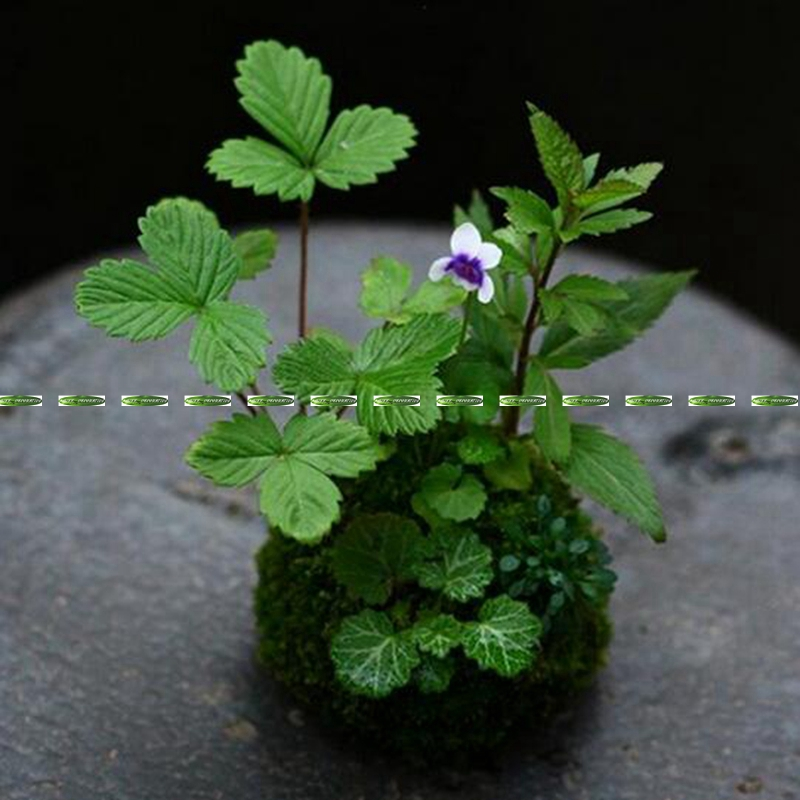 New Christmas 7cm Natural Wedding Home Office Furniture Decor 7cm Round Dry Moss Plant Flower nutriment Vase No Plant Green F52