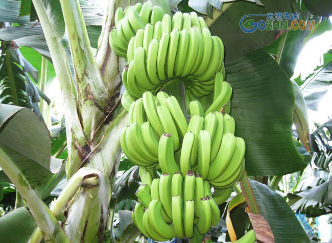 100pcs/bag imported banana seeds, milk taste,beautiful delicious fruit seeds(China (Mainland))