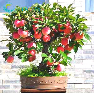 Trial product Bonsai Apple Tree Seeds 30 Pcs apple seeds (used wet sand sprouting )fruit bonsai garden in flower pots planters(China (Mainland))