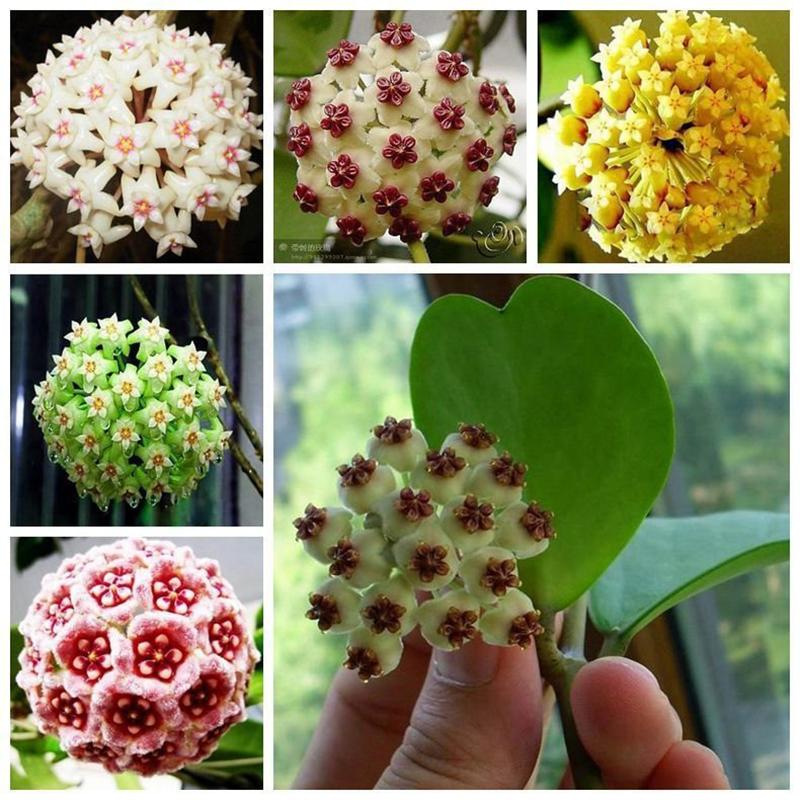 Acquista all 39 ingrosso online cymbidium pianta da grossisti for Semi orchidea