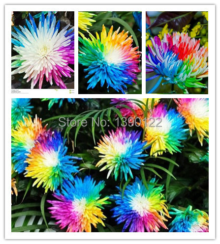 200 PCS/rainbow Chrysanthemum Flower seeds china also is Himalayan orchid seeds flower seeds for Home garden planting(China (Mainland))