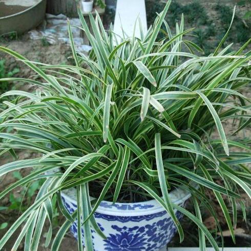 online kaufen gro handel ophiopogon japonicus aus china. Black Bedroom Furniture Sets. Home Design Ideas