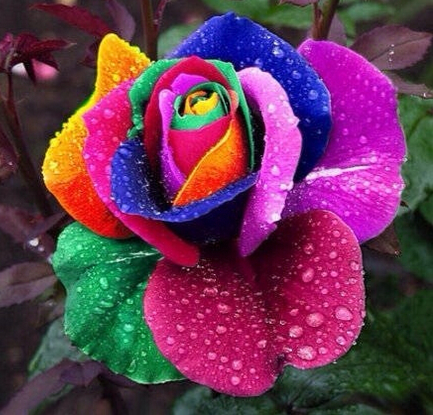 100 Seeds/pack Rare Holland Rainbow Rose Seeds Flower Home Garden rare rainbow rose flower seeds Free shipping