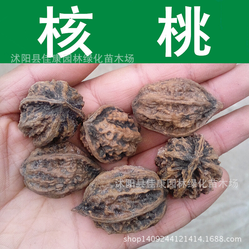 Freshly collected seed walnut pecan seed walnut Persian walnut English walnut seeds 200g / Pack fruit seeds