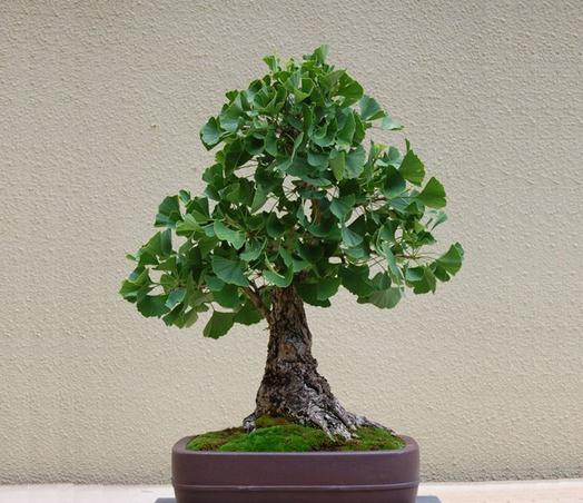 Maidenhair Fossil Tree Gingko Ginkgo Biloba Bonsai Seeds, Professional Pack, 5 Seeds / Pack, Yellow Ornamental Leaves E3326(China (Mainland))