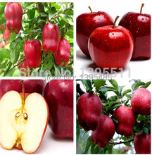 Buy Bonsai Apple Tree Seeds 20 Pcs apple seeds fruit bonsai garden flower pots planters rare american red delicious apples for $1.30 in AliExpress store