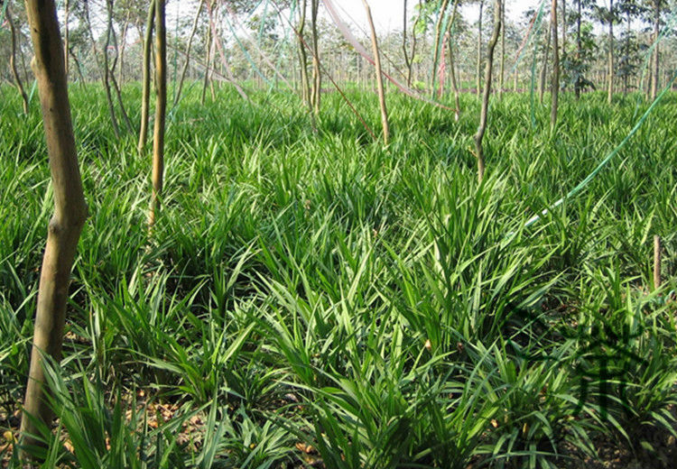 Buy ornamental ophiopogon japonicus seeds for Short ornamental grass varieties